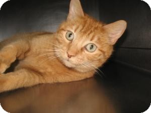 Domestic Shorthair Cat for adoption in Chambersburg, Pennsylvania - Dazzel