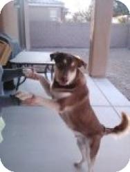 Labrador Retriever/Shepherd (Unknown Type) Mix Puppy for adoption in Las Vegas, Nevada - S's Major - N