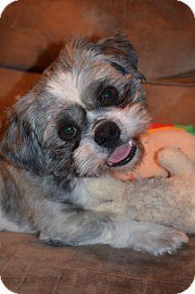 Shih Tzu Dog for adoption in Wytheville, Virginia - Monroe