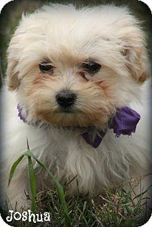 Shih Tzu/Miniature Poodle Mix Puppy for adoption in Glastonbury, Connecticut - Joshua