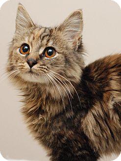 Domestic Mediumhair Kitten for adoption in Nashville, Tennessee - Contessa