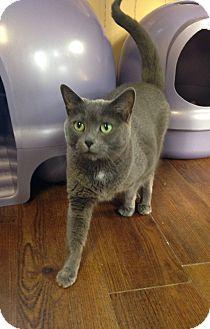 Domestic Shorthair Cat for adoption in Greensburg, Pennsylvania - Kisses