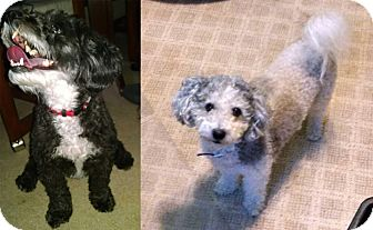 Poodle (Toy or Tea Cup)/Shih Tzu Mix Dog for adoption in Minneapolis, Minnesota - Buddy