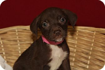 Labrador Retriever/Terrier (Unknown Type, Medium) Mix Puppy for adoption in Waldorf, Maryland - Chrissy