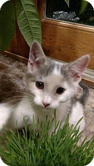 Domestic Shorthair Kitten for adoption in Alamo, California - Cinnamon