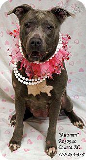 Pit Bull Terrier Mix Dog for adoption in Newnan City, Georgia - Autumn
