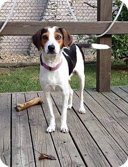 Beagle Mix Dog for adoption in Garden City, Michigan - Mama Pizza