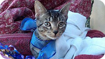 Domestic Shorthair Kitten for adoption in Scottsdale, Arizona - Tony Tiger