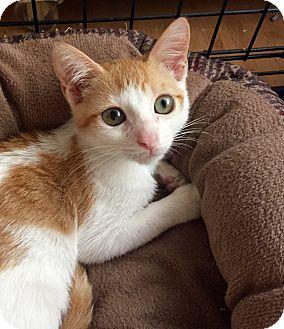 Domestic Shorthair Kitten for adoption in Sunny Isles Beach, Florida - Ally