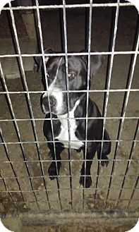 Pit Bull Terrier/Great Dane Mix Dog for adoption in Coats, North Carolina - Gavin (available 01-30-16)