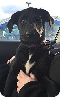 Labrador Retriever/Shepherd (Unknown Type) Mix Dog for adoption in Cranford, New Jersey - Sadie