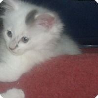 Adopt A Pet :: TONYA - Acme, PA