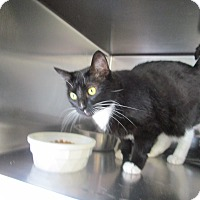 Domestic Shorthair Cat for adoption in DeRidder, Louisiana - Tilly