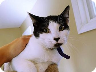 Domestic Shorthair Cat for adoption in Bloomfield, New Jersey - Jenny