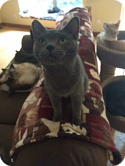 Chartreux Cat for adoption in Roseburg, Oregon - Patty