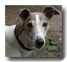 Greyhound Dog for adoption in Roanoke, Virginia - Spunky