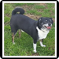 Chihuahua Mix Dog for adoption in Winchester, California - LITTLE FOOT