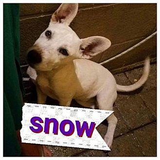 Labrador Retriever/German Shepherd Dog Mix Puppy for adoption in LAKEWOOD, California - Snow
