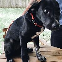 Adopt A Pet :: Lilo - Houston, TX