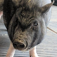 Pig (Potbellied) for adoption in Hartville, Wyoming - Penny
