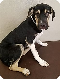 Shepherd (Unknown Type) Mix Puppy for adoption in Las Vegas, Nevada - Jaden