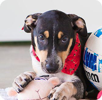 Labrador Retriever/Shepherd (Unknown Type) Mix Puppy for adoption in Seattle, Washington - Flower