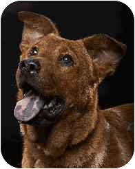 Labrador Retriever Mix Dog for adoption in Arlington Heights, Illinois - Rusty