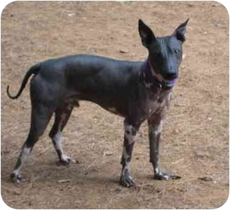American Hairless Terrier Dog for adoption in Phoenix, Arizona - Logan