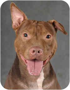 American Pit Bull Terrier/American Staffordshire Terrier Mix Dog for adoption in Chicago, Illinois - Conan