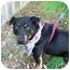 Photo 2 - Corgi/Miniature Pinscher Mix Dog for adoption in Niceville, Florida - Ralphie