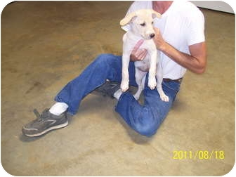 American Bulldog/Labrador Retriever Mix Puppy for adoption in Cranford, New Jersey - Dora
