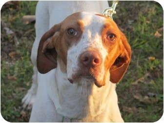 Pointer/Hound (Unknown Type) Mix Dog for adoption in Portland, Maine - Arya