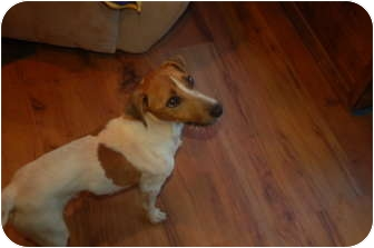 Jack Russell Terrier Mix Dog for adoption in Seneca, South Carolina - Max