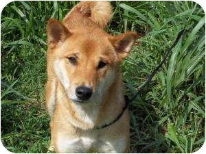 Shiba Inu/Basenji Mix Dog for adoption in Centennial, Colorado - Isamu