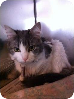 Domestic Mediumhair Cat for adoption in Pittstown, New Jersey - Lilly