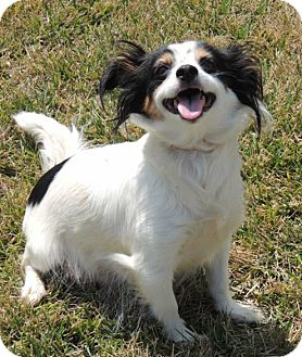 Papillon Mix Dog for adoption in La Habra Heights, California - Trudy