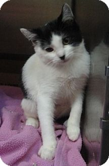 Domestic Shorthair Cat for adoption in Spruce Pine, North Carolina - Lexi