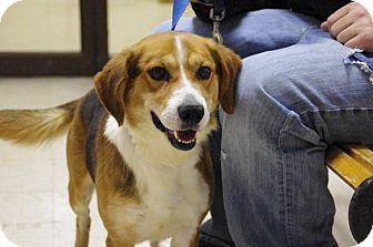 Beagle Dog for adoption in Elyria, Ohio - LEO