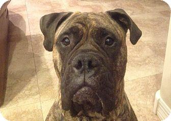 Bullmastiff Dog for adoption in Phoenix, Arizona - Bella