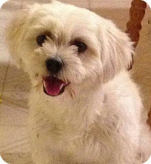 "Maltese/Lhasa Apso Mix Dog for adoption in Seattle, Washington - ""Bella"""