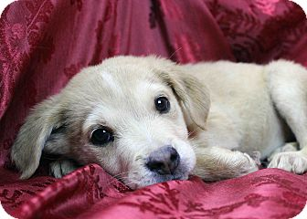 Husky/Shar Pei Mix Puppy for adoption in Westminster, Colorado - Colambo