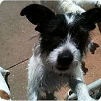 Adopt A Pet :: Sissy in Houston - Houston, TX