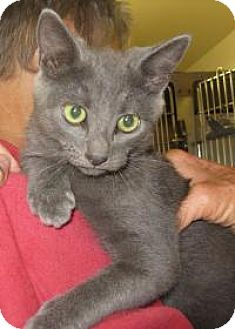 Russian Blue Kitten for adoption in Mineral, Virginia - Sparkle