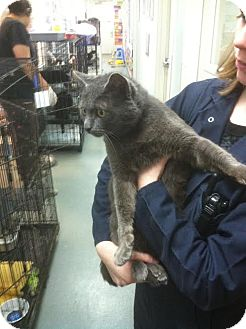 Domestic Shorthair Cat for adoption in Westminster, California - Green Eggs