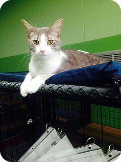 Domestic Shorthair Cat for adoption in Bryan, Ohio - Puss
