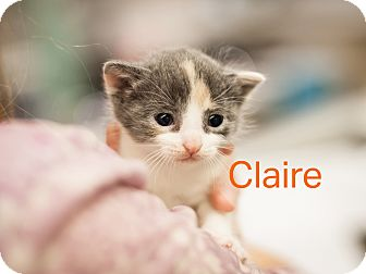 Domestic Shorthair Kitten for adoption in Dallas, Texas - Claire