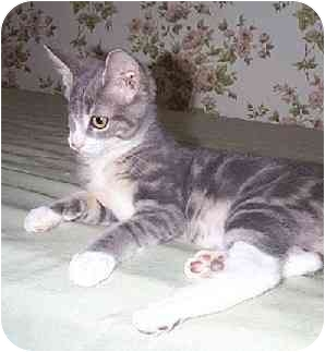 Domestic Shorthair Kitten for adoption in Naugatuck, Connecticut - Winkyn