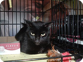 Domestic Shorthair Cat for adoption in Avon, Ohio - Jessalyn
