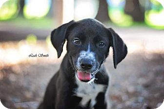 Border Collie/Labrador Retriever Mix Puppy for adoption in Greenville, Kentucky - Ellie