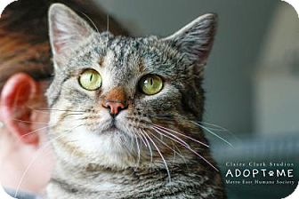 Domestic Shorthair Cat for adoption in Edwardsville, Illinois - Jake